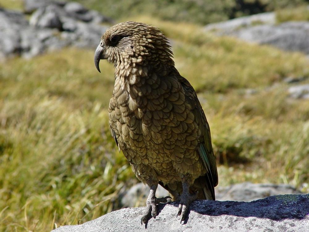 Kea, Milford Sound