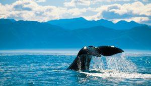 Whale Tail, Kaikoura, Photo Credit: Chris McLennan